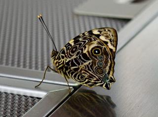 Many False Eye Butterfly
