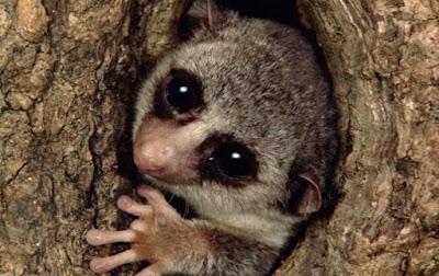 Mamalia Lemur Memegang Kunci Hibernasi Manusia