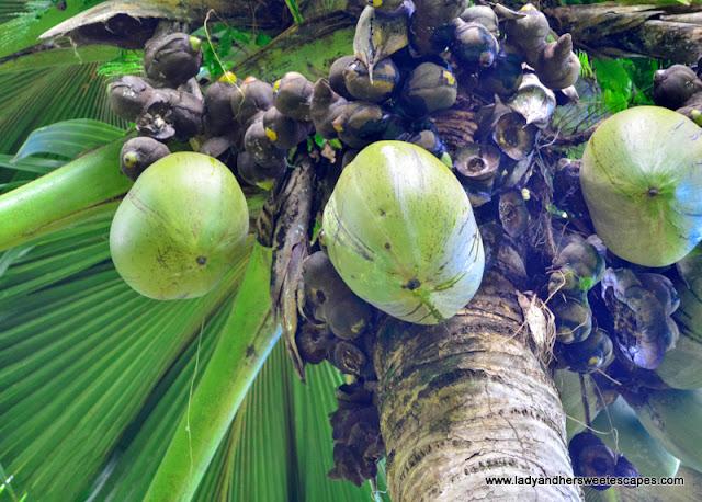 Coco de Mer in Seychelles