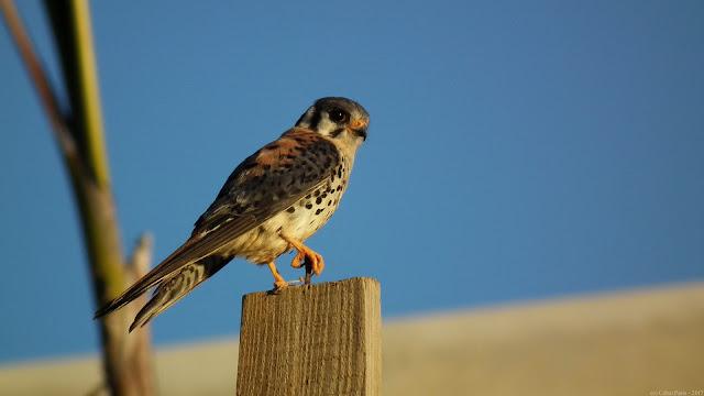 American Kestrel Falco sparverius Quiriquiri Cernícalo Americano