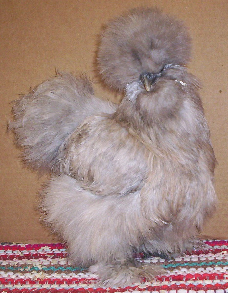 California Country Ranch: Silkie Chickens
