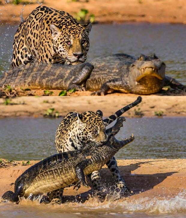 Jaguar Attacks Crocodile - 28 Awe Inspiring Photos That Prove Just How Cool Mother Nature Is