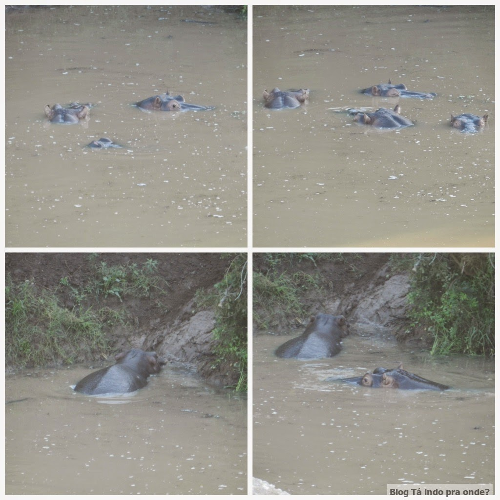 hipopótamos na África do Sul