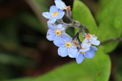 [Boraginaceae] Myosotis