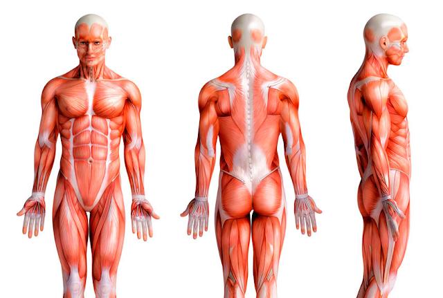 Cadeia muscular e a Fáscia