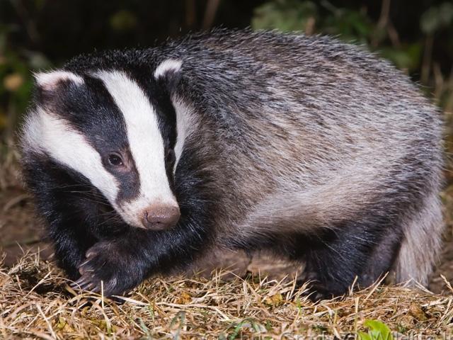 Badger%2BAnimal%2BPictures