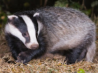 Badger Animal Pictures