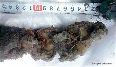 Ilmuwan Ingin Hidupkan Kembali Bison Padang Rumput yang Punah