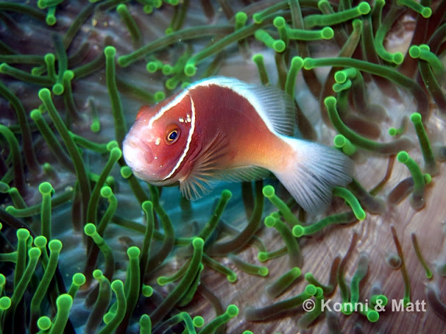 pink anemonefish, cebu, panagsama wall, moalboal, philippines
