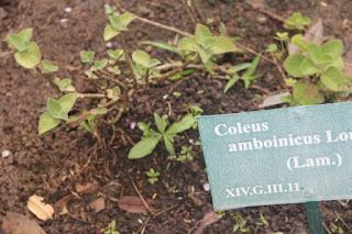 gambar atau foto Daun Jinten (Coleus Amboinicus Lour)