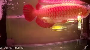 ikan arwana tercantik