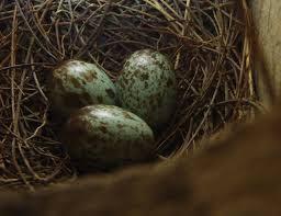 Telur kacer saat sudah di kandang ternak