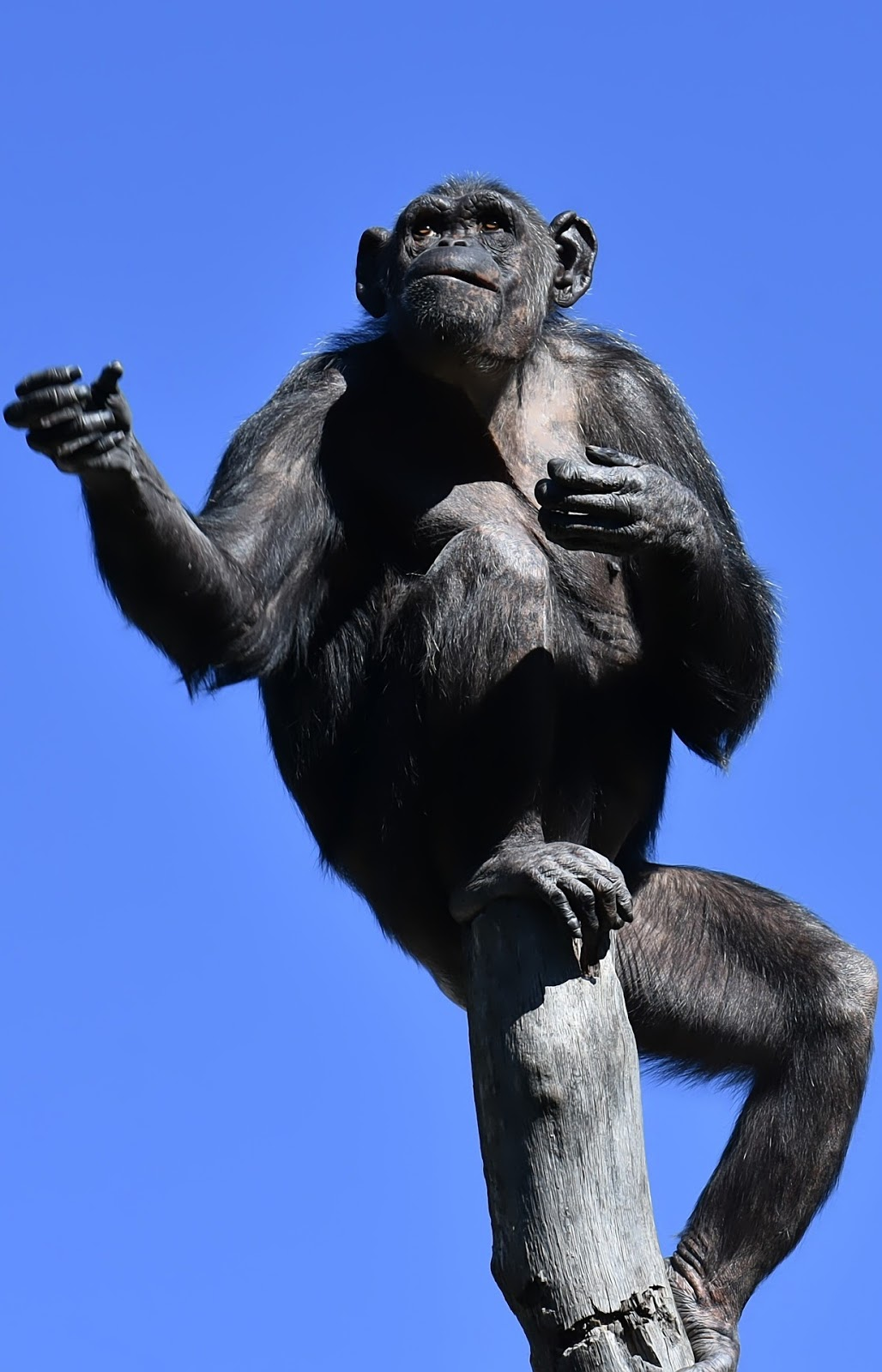 Gestures of a chimpanzee on a pole.