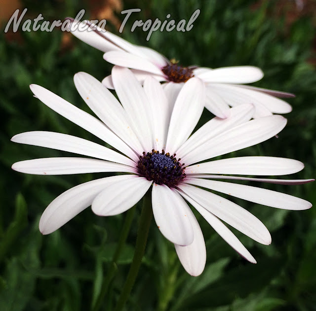Inflorescencias con lígulas blancas de la Margarita del Cabo, Dimorphotheca ecklonis