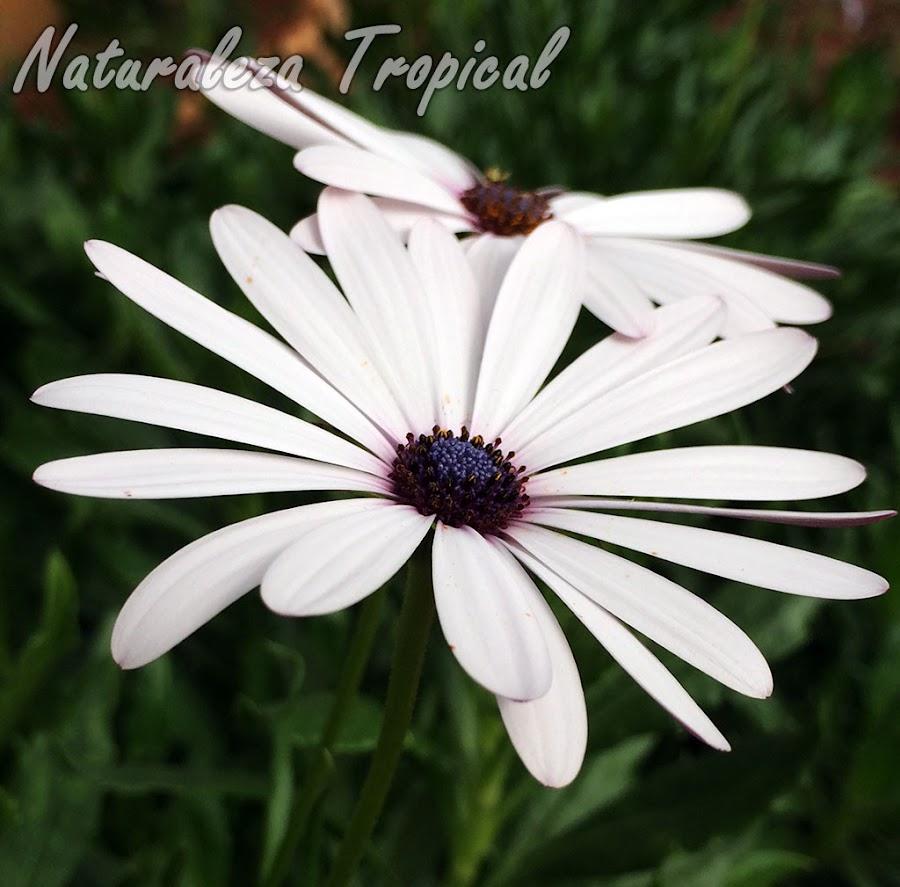 Inflorescencias con líangulas sucedáneas blancas de la Margarita del Cabo, Dimorphotheca ecklonis