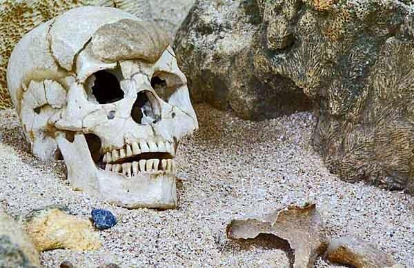 skeleton skull on display in museum