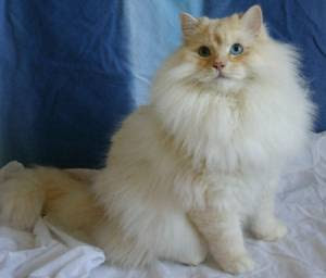 Long Haired Domestic Cat Fun Animals Wiki Videos Pictures Stories
