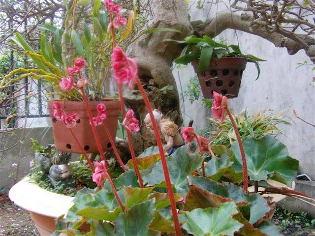 Kỹ thuật trồng và chăm sóc cây sen cạn