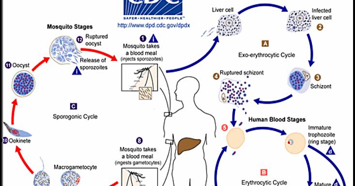 malária plazmodium sporogony