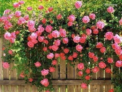 плетистые розы, уход за плетистыми розами, посадка плетистых роз,как ухаживать за плетистыми розами,climbing roses, care of climbing roses, planting climbing roses,how to care for climbing roses,   плетистые Rosen, Pflege плетистыми Rosen, die Landung плетистых Rosen,wie die Pflege der Rosen плетистыми