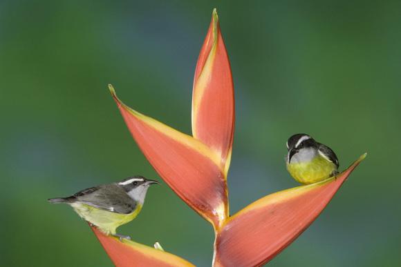طيور نــادرة رائــــــعة Bananaquit_Pair_on_a