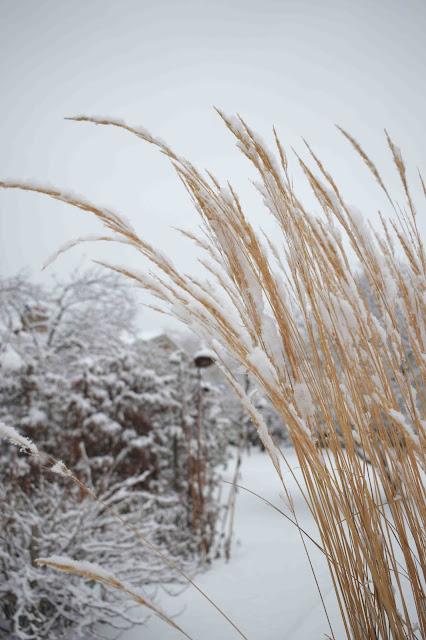 Gräs på vintern