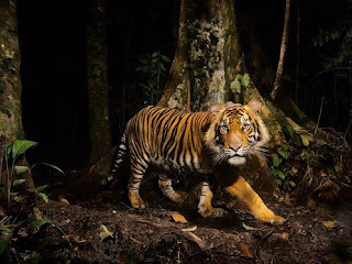Tigre de Bengala 008