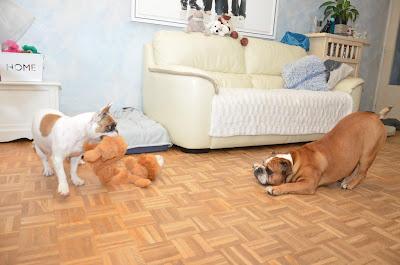 Dog sitter spécialisé bouledogues