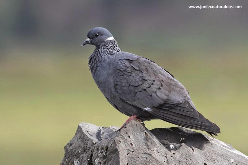 white collared pigeon Columba albitorques