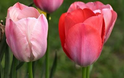 manfaat-bunga-tulip-bagi-kesehatan,www.healthnote25.com