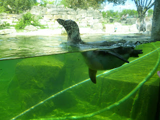 penguin swimming Marwell Zoo