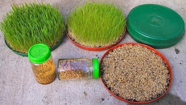 ما هي عشبة القمح وطريقة صنعها واستخدامها وفوائدها