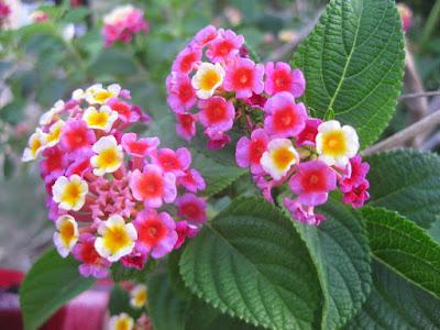 Cách chữa viêm xoang đơn giản bằng hoa ngũ sắc