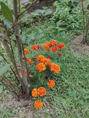 Coltivare fiori nell'orto: il tagete.