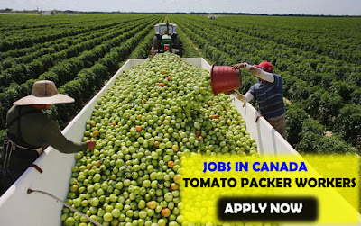 Tomato Picker Jobs Available In Canada | Apply Now