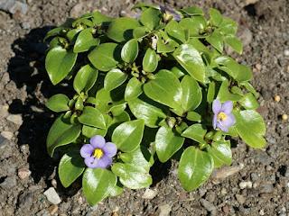 Violette de Perse - Exacum semblable - Exacum affine