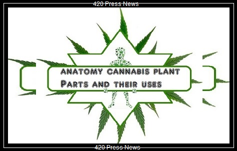 anatomy cannabis plant