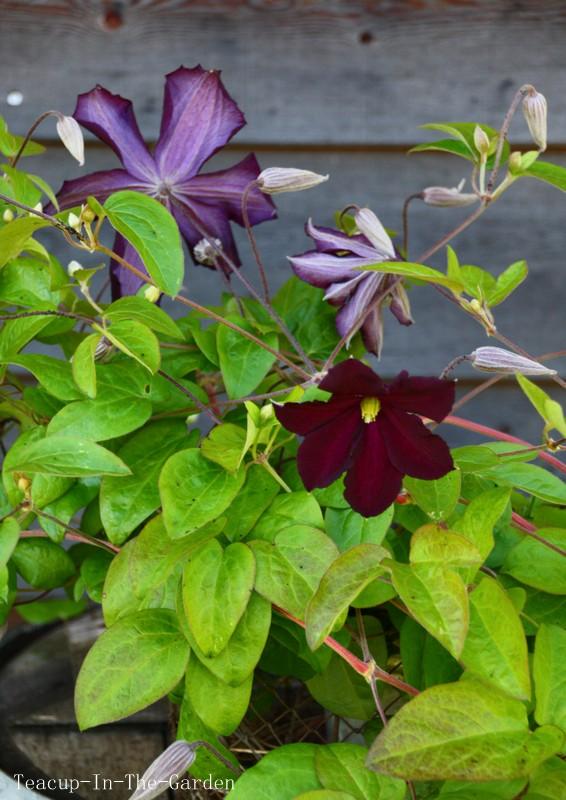 teacup in the garden rose clematis. Black Bedroom Furniture Sets. Home Design Ideas