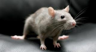 Penyakit Akibat Digigit Tikus