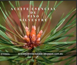 El aceite esencial de pino silvestre es de los más buscados por sus propiedades antirreumáticas