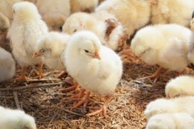 pollos-recien-nacidos