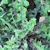 Άγριο χόρτο Ζοχός ή ζόχια: Ένα εκπληκτικό φάρμακο