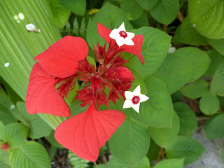 Mussaenda rouge - Mussaenda erythrophylla