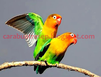 Foto Burung Love Bird