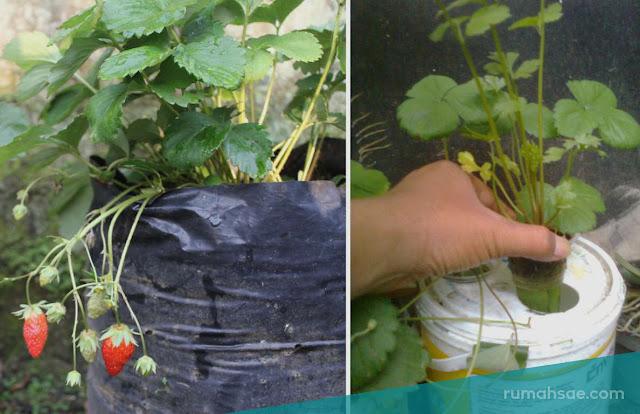 Pilih Menanam Stroberi Menggunakan Tanah atau Air
