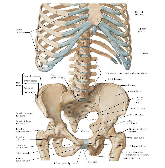 Bony Framework of Abdomen Anatomy  Costal cartilages, Body of sternum, Xiphoid process 12th rib, Sacral promontory, Transverse processes of lumbar vertebrae, Iliac tuberosity, Iliac crest, Ala of ilium, Greater sciatic notch, Arcuate line, Ischial spine, Lesser sciatic notch, Greater trochanter of femur, Pecten pubis, Pubic symphysis, Ischial tuberosity, Lesser trochanter of, femur (in medial rotation), Inferior pubic ligament, Pubic arch, Sacrum, Coccyx, Anterior superior iliac spine, Anterior inferior iliac spine, Iliopubic eminence, Superior pubic ramus Obturator foramen, Pubic tubercle, Inferior pubic ramus, Inner lip, Intermediate zone, Outer lip, Tuberculum.