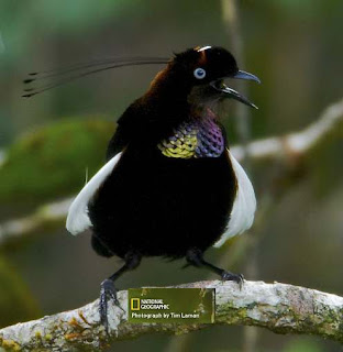 Burung parotia foja atau Foja Parotia yang juga dikenal dengan Bronze Parotia (Parotia berlepschi) ini adalah salah satu jenis burung dari keluarga besar Paradisaeidae