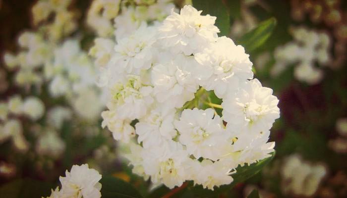 Corona de novia planta ornamental