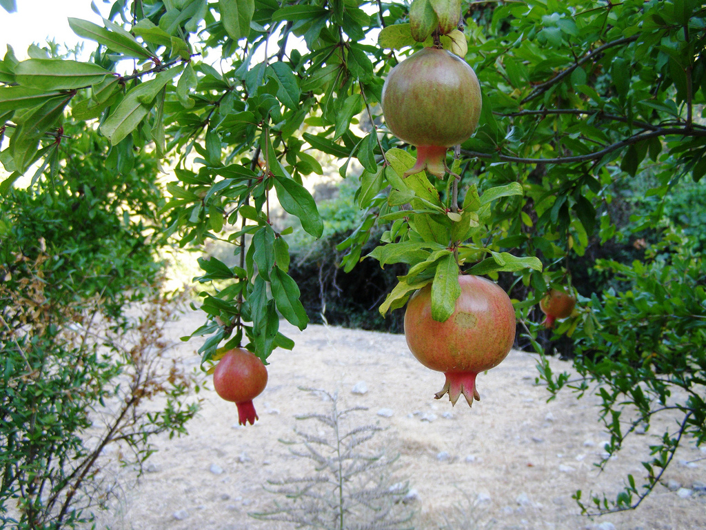 Bu meyve kanserin kökünü kazıyor
