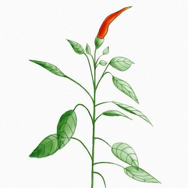 Digital sketch of a little pepper plant